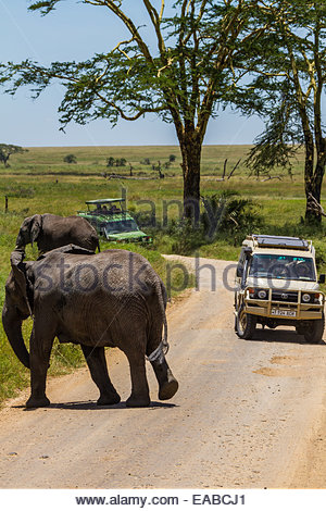 African elephants prepare to cross a dirt road as safari tourists look on from their trucks in Serengeti National - Stock Photo