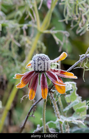 Rudbeckia covered in an autumn frost - Stock Photo
