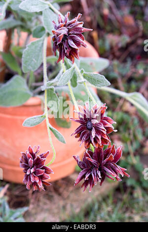 Rudbeckia 'cherokee sunset' covered in an autumn frost - Stock Photo