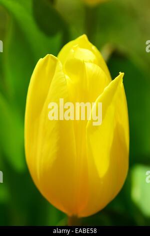 Yellow tulip flower head - Stock Photo