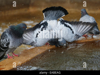 Pigeons refresh on a fountain during a summer day in the spanish island of Mallorca. - Stock Photo