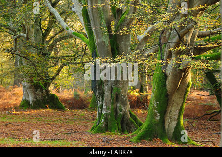 Mark Ash Wood, New Forest - Stock Photo