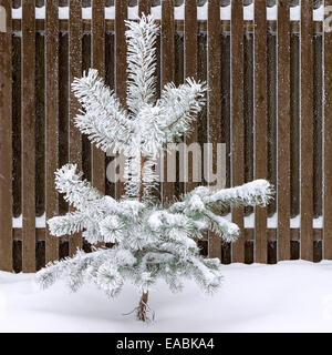 Young pine tree covered with snow and standing against wooden fence - Stock Photo
