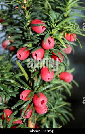 Yew Tree With 'Berries' - actually a bright red aril surrounding the seed - Stock Photo
