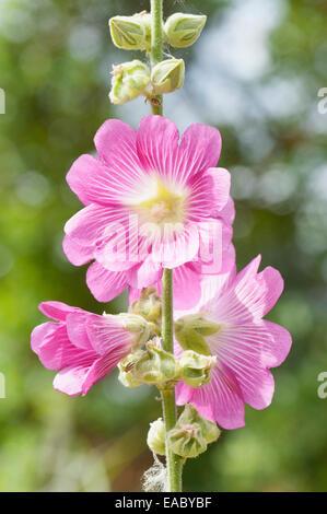 Mallow, Lavatera trimestris, Pink subject. - Stock Photo