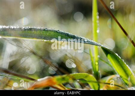 Gras with waterdrops, Germany, 11. November 2014. Photo: Frank May - Stock Photo