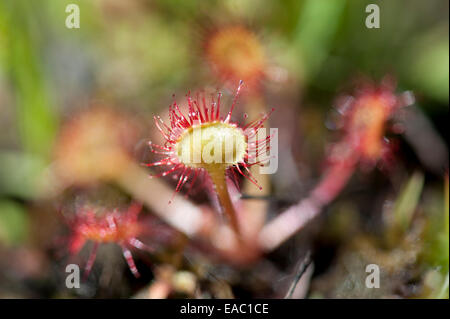 Round-leaved Sundew Drosera rotundifolia Kent UK