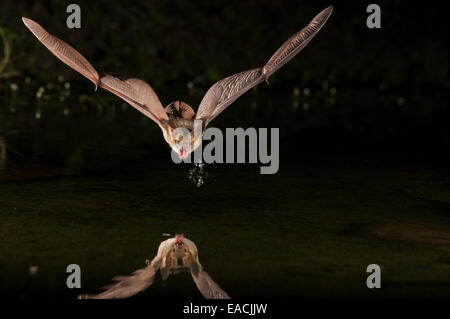 Pallid bat, Antrozous pallidus, Green Valley, Arizona, USA; found from western Canada to central Mexico - Stock Photo