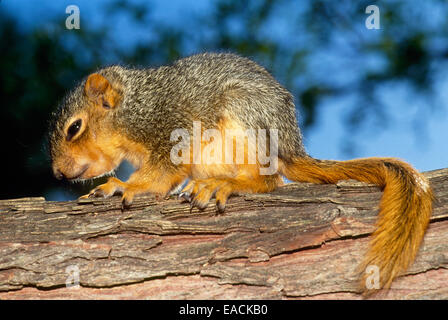 Baby Eastern fox squirrel, Scuirius niger, just out of nest and creeping along branch, Missouri, USA - Stock Photo