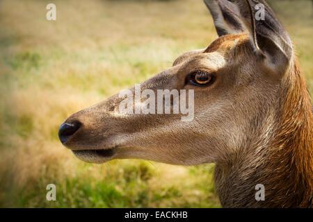 roe deer, reserve de Beaumarchais (Beaumarchais reserv) Indre et Loire, Centre, France. - Stock Photo