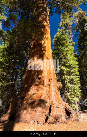 Giant Redwood, or Sequoia, Sequoiadendron giganteum, in Sequoia National Park, California, USA. - Stock Photo