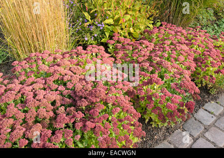 orpine sedum telephium 39 herbstfreude 39 syn hylotelephium. Black Bedroom Furniture Sets. Home Design Ideas