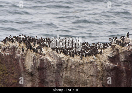 Colony of Common Murres or Common Guillemots (Uria aalge) nesting on a cliff, Dunbar, Scotland, United Kingdom - Stock Photo