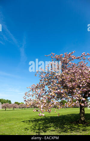 Cherry blossom on the Stray in Harrogate North Yorkshire England - Stock Photo