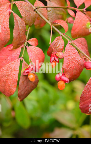 euonymus alatus winged spindle tree stock photo royalty. Black Bedroom Furniture Sets. Home Design Ideas