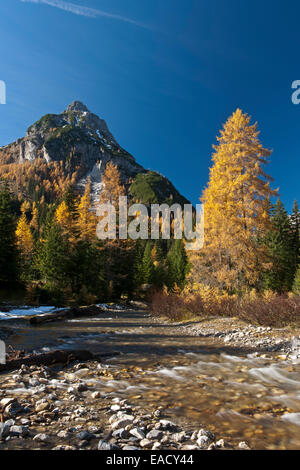 Larch trees in autumn on mountain stream, Riedingtal, Lungau, Salzburg, Austria - Stock Photo