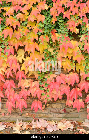 Japanese creeper (Parthenocissus tricuspidata) and common ivy (Hedera helix) - Stock Photo