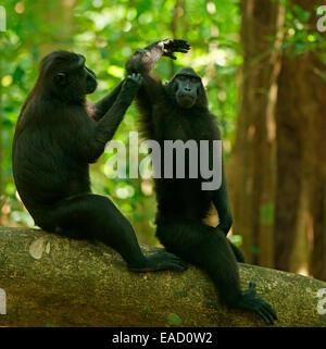 Two Celebes Crested Macaques (Macaca nigra), grooming, Tangkoko National Park, Sulawesi, Indonesia - Stock Photo