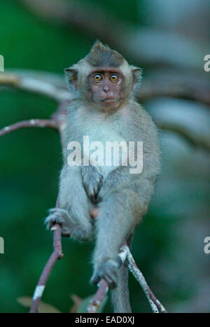 Crab-eating Macaque (Macaca fascicularis), young, National Park Tanjung Puting, Central Kalimantan, Borneo, Indonesia - Stock Photo
