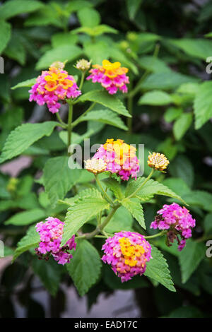 Lantana camara, also known as big sage (Malaysia), wild sage, red sage, white sage (Caribbean) and tickberry (South - Stock Photo