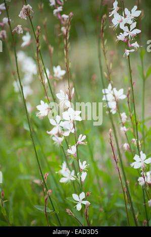 Gaura, Gaura lindheimeri, White subject. - Stock Photo