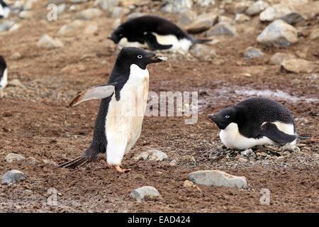 Adelie Penguins (Pygoscelis adeliae) adult with nesting material, breeding colony, Devil Island, Antarctica - Stock Photo