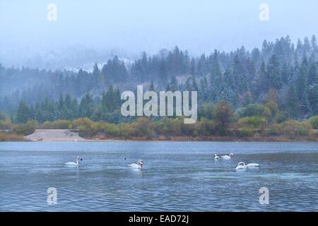 wild white swans on lake in Alps during snowfall - Stock Photo