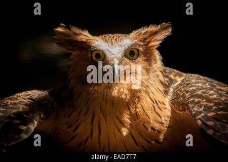 Portrait of a captive buffy fish owl (Bubo ketupu). © Reynold Sumayku - Stock Photo