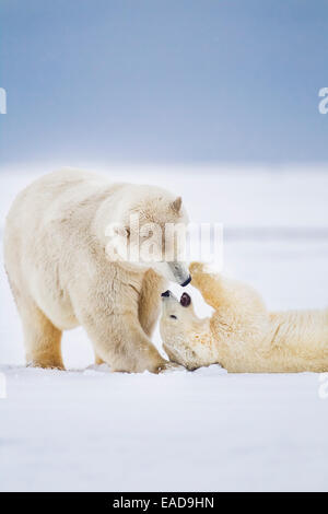 Polar bear mother and cub play affectionately on the snowy island in the Beaufort Sea; Alaska, United States of - Stock Photo