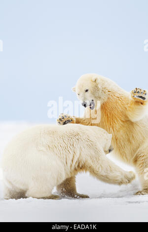 Two polar bears (ursus maritimus) play fight in the snow on a barrier island in the Arctic National Wildlife Refuge; - Stock Photo
