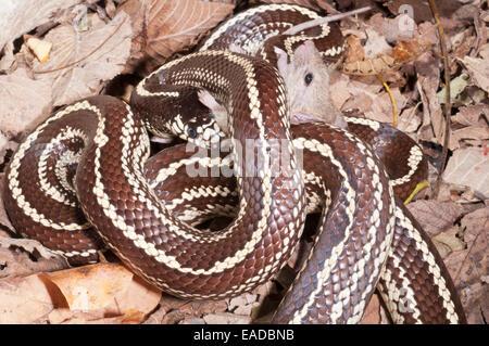 California Kingsnake Coastal Phase Striped Lampropeltis Getula - California king snake morphs
