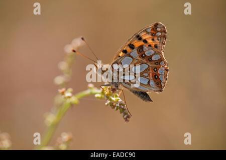 Queen of Spain Fritillary (Issoria lathonia) on flower - Stock Photo