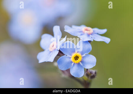 Alpine forget-me-not, Alaska's state flower, Denali National Park, Alaska - Stock Photo