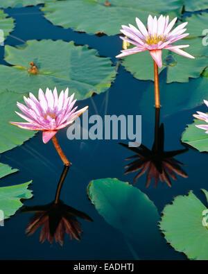 lotus flower and leaves in bloom in water garden