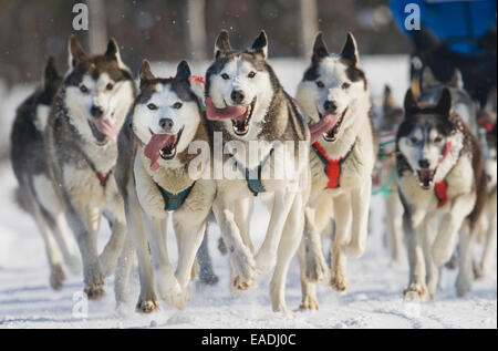 Husky,Alaska,Snow,Sled Dog Race - Stock Photo