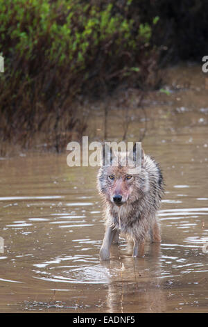 Wolf stands in a small tundra pond, Denali National Park, Interior Alaska. - Stock Photo