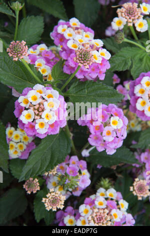 Lantana camara flowers, Kefalonia, Greece - Stock Photo