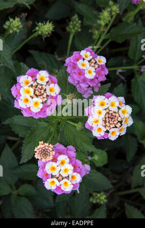 Lantana camara flowers growing wild in Kefalonia, Greece - Stock Photo