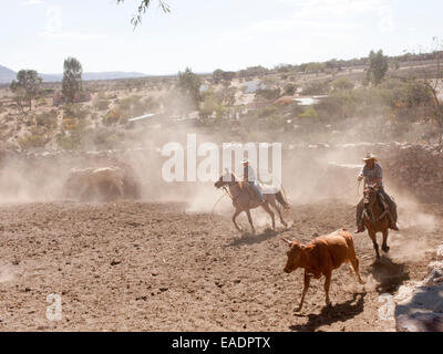 Ranchers on horse lassoing Cows in desert ranch in Mexico Stock Photo