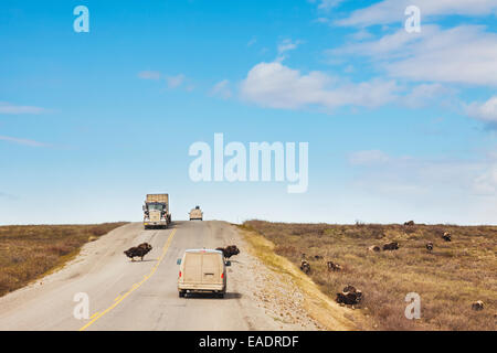 A herd of musk ox crossing the James Dalton highway with vehicles in the road, Arctic, Alaska. - Stock Photo