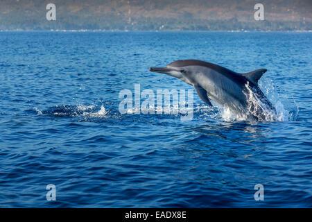 Indo-pacific Bottlenose Dolphin (Tursiops aduncus), Lovina Bay, Bali, Indonesia - Stock Photo