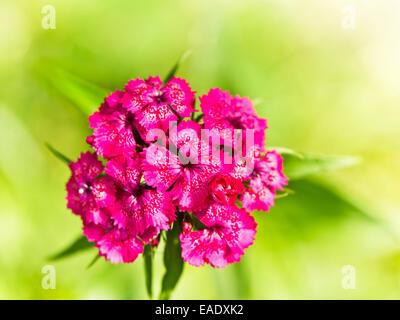 macro of the Carnation (Pinks) - Stock Photo