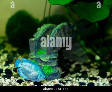fish Dwarf gourami (Colisa lalia) - Stock Photo