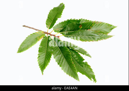 Sweet Chestnut (Castanea sativa), leaves - Stock Photo