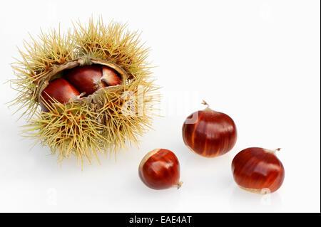 Sweet Chestnut (Castanea sativa), chestnuts - Stock Photo
