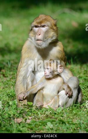 two barbary macaques macaca sylvanus sleeping snuggled. Black Bedroom Furniture Sets. Home Design Ideas