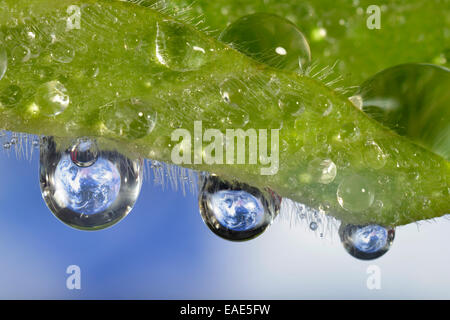 Planet Earth reflected in dewdrops, symbolic image of water as an elixir of life, Germany - Stock Photo
