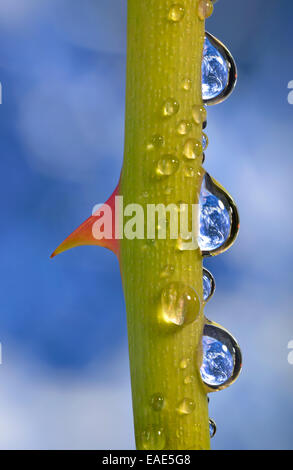 Planet Earth reflected in dewdrops on a rose stem with thorn, symbolic image of water as an elixir of life, Germany - Stock Photo
