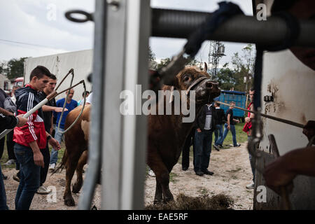 BOSNIA AND HERZEGOVINA / Vitez / Workers and the owner laying bull in a trolley after bull fight in the town of - Stock Photo