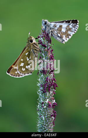 Silver-spotted Skipper (Hesperia comma), left, and a Grizzled Skipper (Pyrgus malvae), right, Seewertal, Ötztaler - Stock Photo